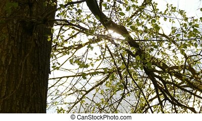 tree branch elm leaves sun glare sunlight nature spring...