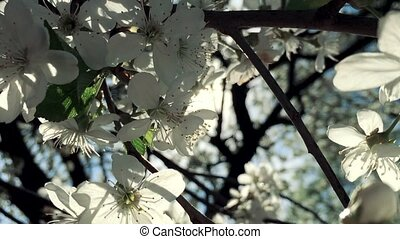 Bright Rays of Spring Flowers blossoming pear closeup...