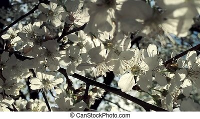 White flowers of pear tree blossom natural background in broad daylight with sun highlight though branches