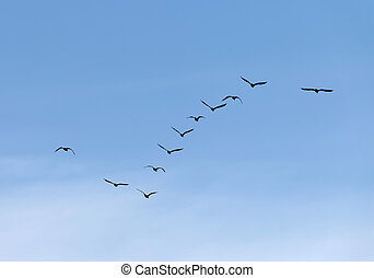 Formation of flying waterbirds