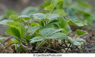 strawberry growing strawberries green healthy leaves on the...