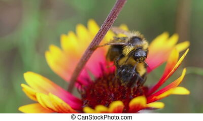 Bumblebee on a flower Gaillardia - A large bumblebee...