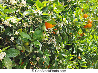 orange blossom - flowers of the orange blossom, fruits in...