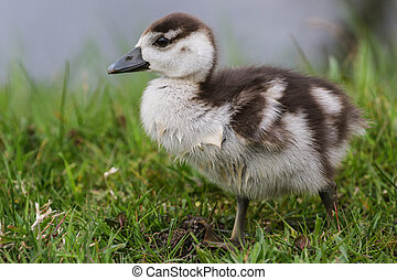 Egyptian goose duckling in the grass - Cute Egyptian goose...