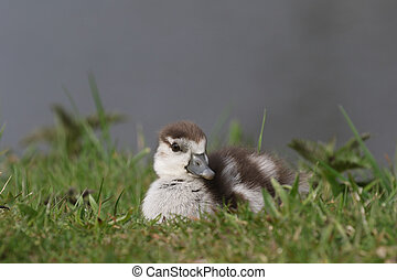 Egyptian goose duckling sitting in the grass - Cute Egyptian...