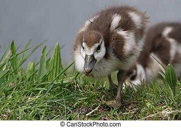 Egyptian goose ducklings in the grass - Cute Egyptian goose...