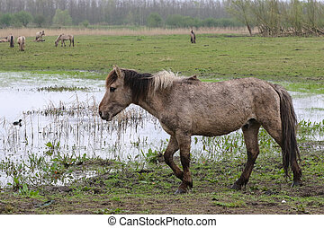 Walking konik horse - Konik horse walking in the rain in the...