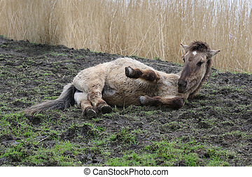 Konik horse lying down in the mud in Oostvaardersplassen,...