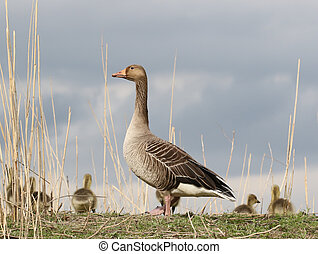 Guarding greylag mother - Greylag mother standing guard by...