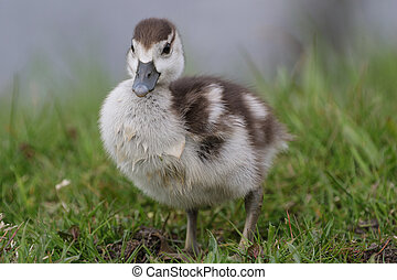 Egyptian goose duckling standing in the grass - Cute...