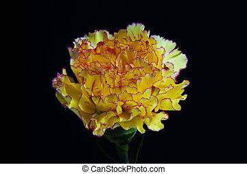 carnation - yellow pink and white carnation flower on black