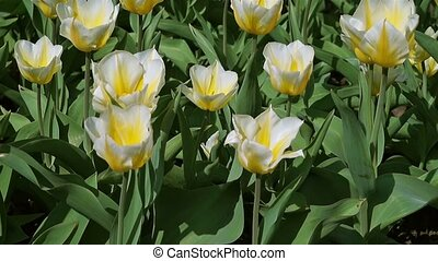 yellow and white tulips in spring day