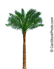 Palm tree on white - Palm tree isolated on white background