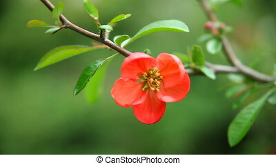 Red flowers on the bushes - Red flowers blossomed on the...