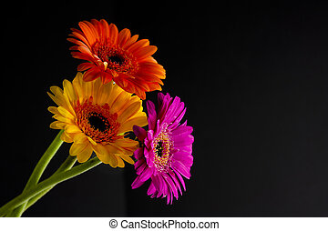 daisies on black - modern shot of bright daisies or...