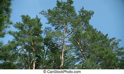 Pine branches breeze rustles - Branches of Pine rustles the...