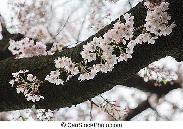 Cereza, flor, estación, en, japón, sakura,...