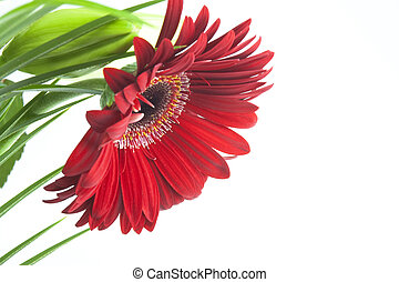 red daisy or echinacea on white background
