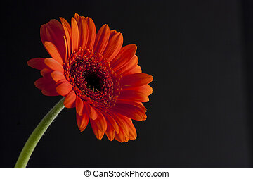 orange daisy or echinacea on black background