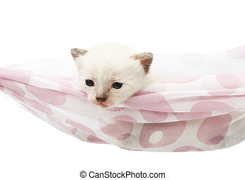 Cute white kitten in a hammock isolated - White kitten in a...