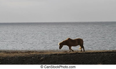 Icelandic horse - An Icelandic horse grasses by the sea