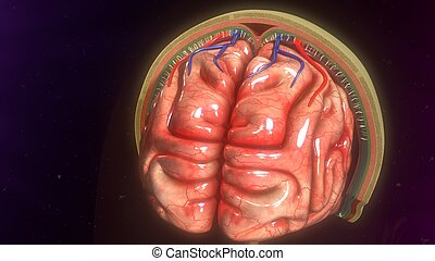 Meninges - The meninges are three layers of protective...