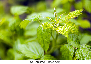 Raspberry sprouts in spring - Young sprout of raspberries in...
