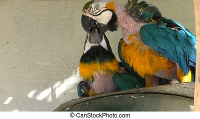 Two parrots playing