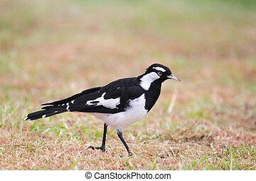 Magpie-lark, (Grallina, cyanoleuca),