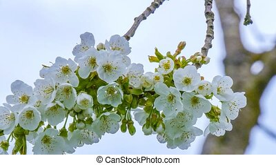 cherry blossoms on a spring day - Flowers of the cherry...
