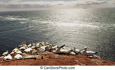 seabirds - A colony of the northern gannets