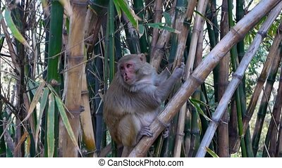 Indian Macaque with a split lip - A Macaque monkey living at...