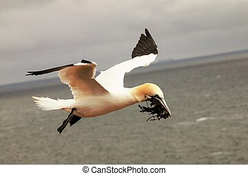 seabird - A northern gannet in flight