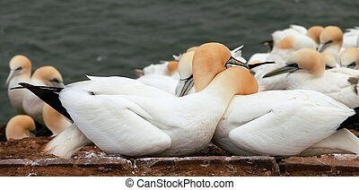 seabirds - Two northern gannets