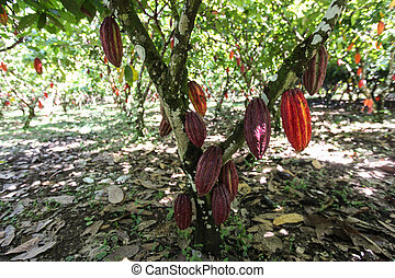 A view of a cacao plantation in Huayhuantillo village near...