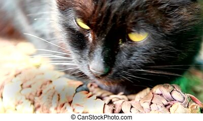 black cat close-up - Cute muzzle of a black cat with green...