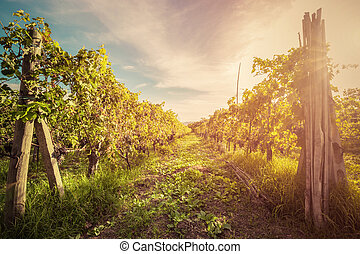 Vineyard in Tuscany, Italy. Wine farm at sunset. Vintage -...