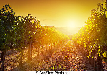 Vineyard landscape in Tuscany, Italy Wine farm at sunset -...