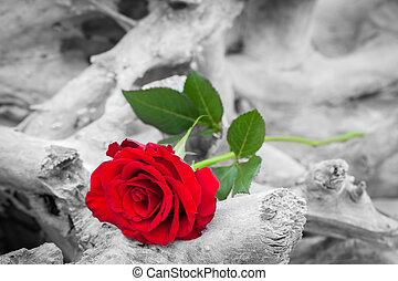 Red rose on the beach Color against black and white Love,...