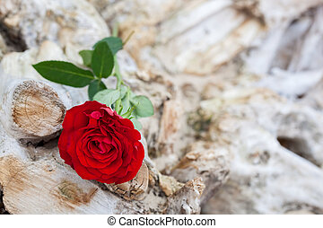 Red rose on the beach Love, romance, melancholy concepts -...