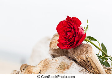 Red rose on the beach. Love, romance, melancholy concepts. -...