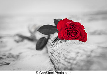 Red rose on the beach. Color against black and white. Love,...