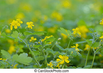Greater celandine (Chelidonium majus) in spring time