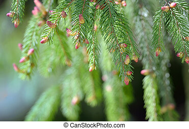 Spruce pine branch with young green cones