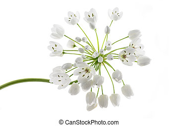 Ramsons flowers - wild garlic flowers isolated on white...