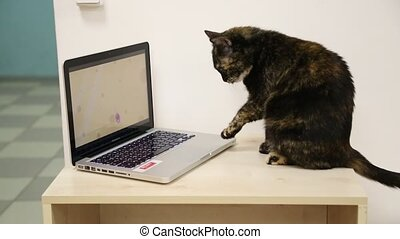 Cat sits at the laptop computer on table