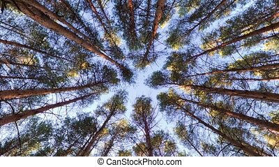 Looking up into pine forest canopy