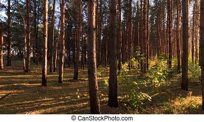 Panoramic shot in the pine forest at sundown in Russia