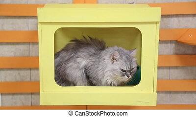 Home gray cat lies on wall shelf