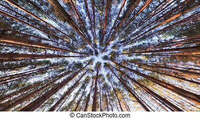 Looking up into pine forest canopy, ultra wide angle